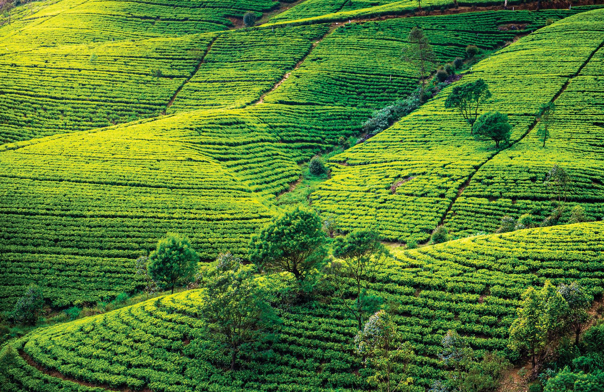 Plantations de thé au Sri-Lanka