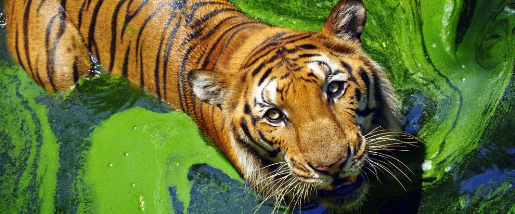 Un tigre du Bengale en Inde