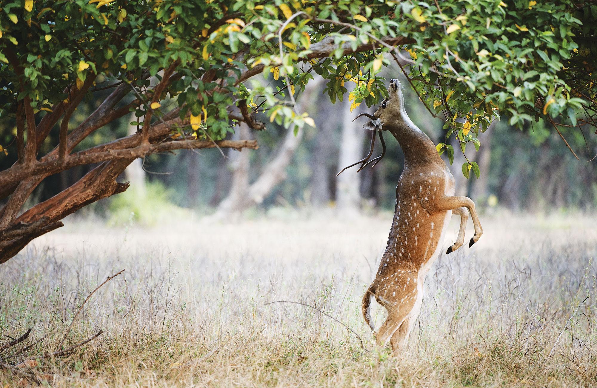 Antilope se nourrissant dressée sur ses pattes arrière dans le Parc de Bandhavgarh