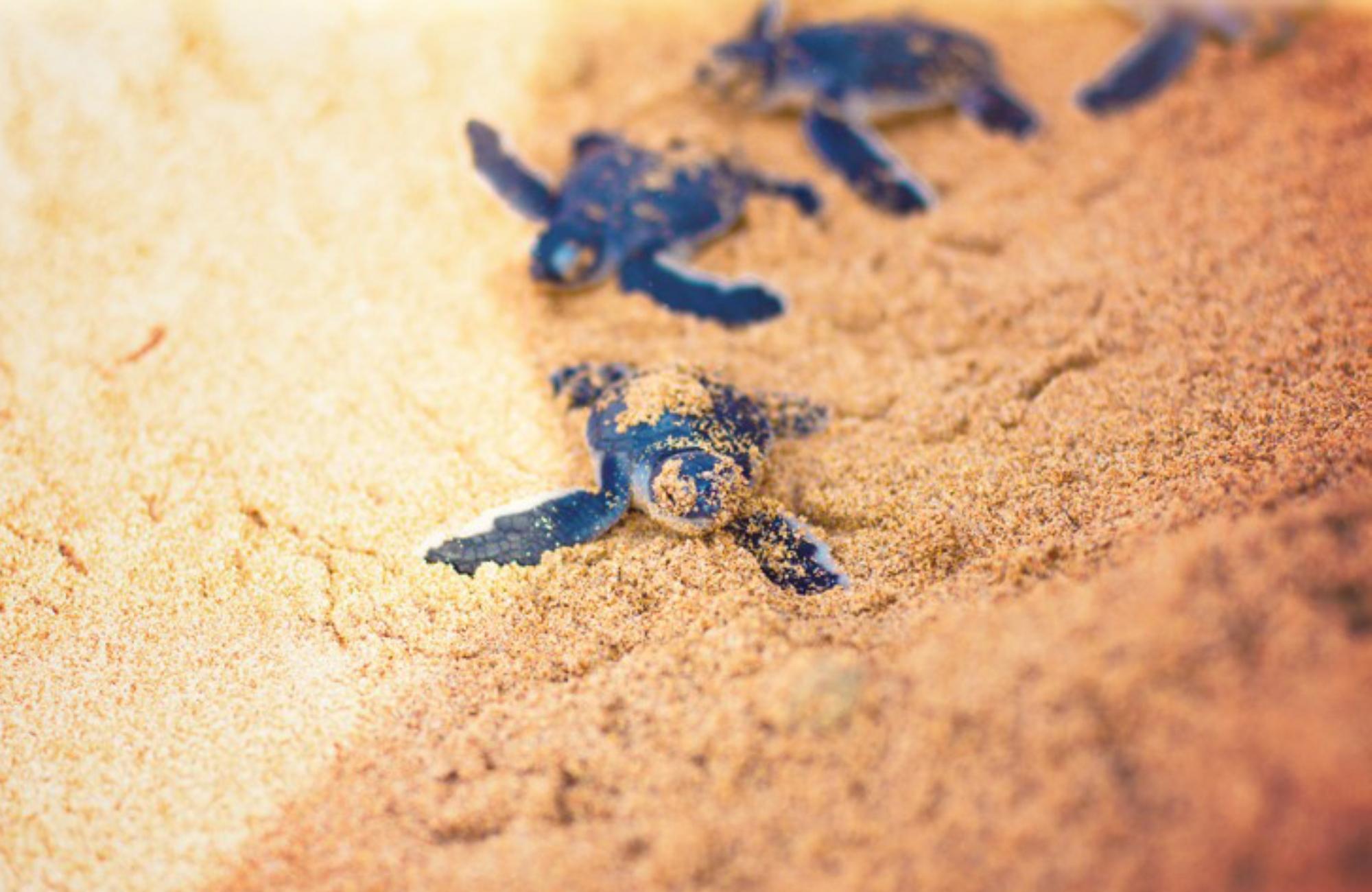 nid-tortues-mer grand