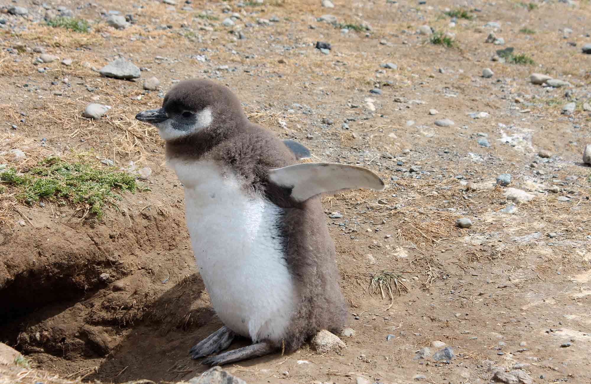 Voyage Chili - Pinguin Iles Magdalena - Amplitudes