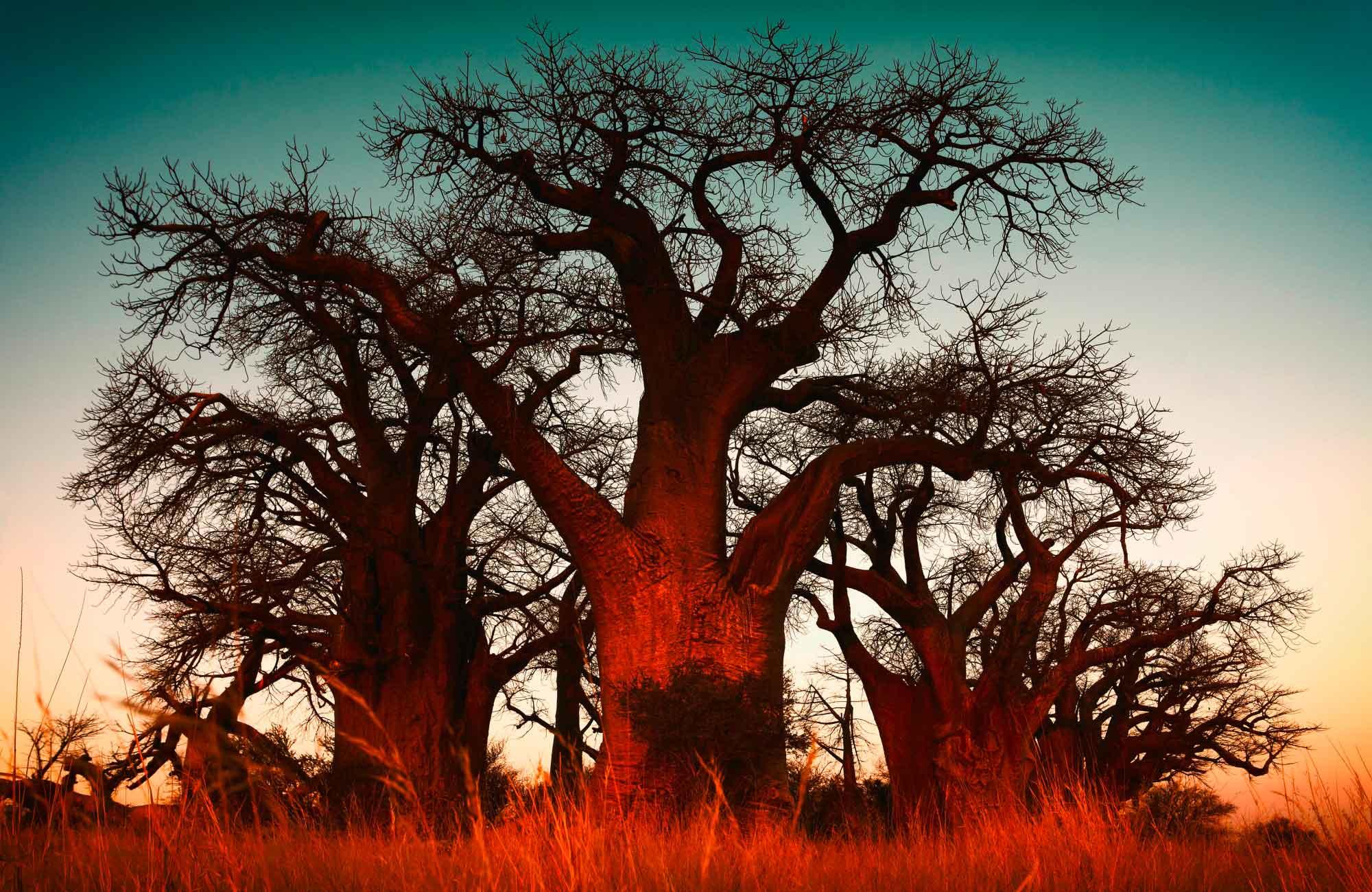 Voyage Namibie - Baobab - Amplitudes