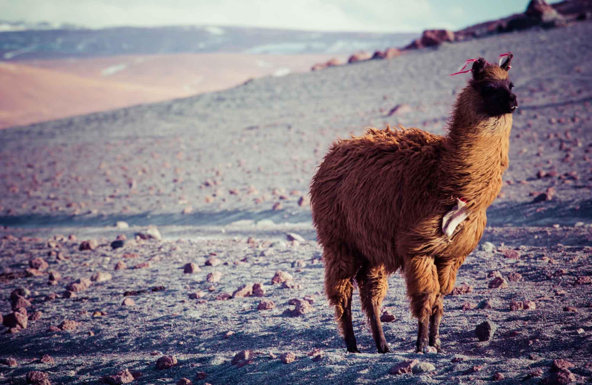 Bolive - Lama Laguna Colorada - Amplitudes