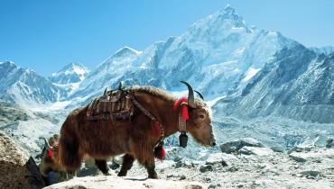 Voyage Népal - Yack Himalaya - Amplitudes