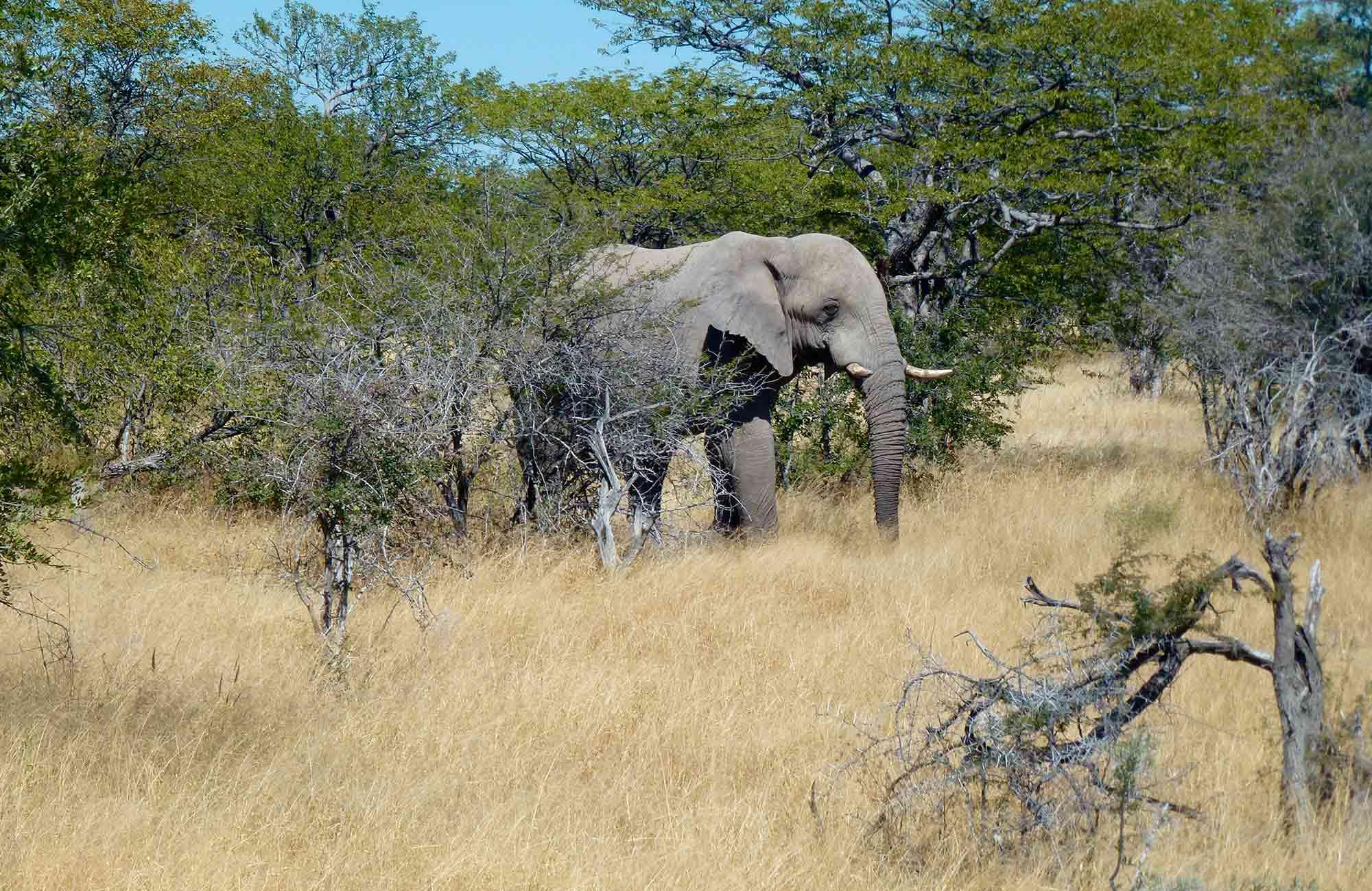 Voyage Namibie - Elephant Etosha - Amplitudes
