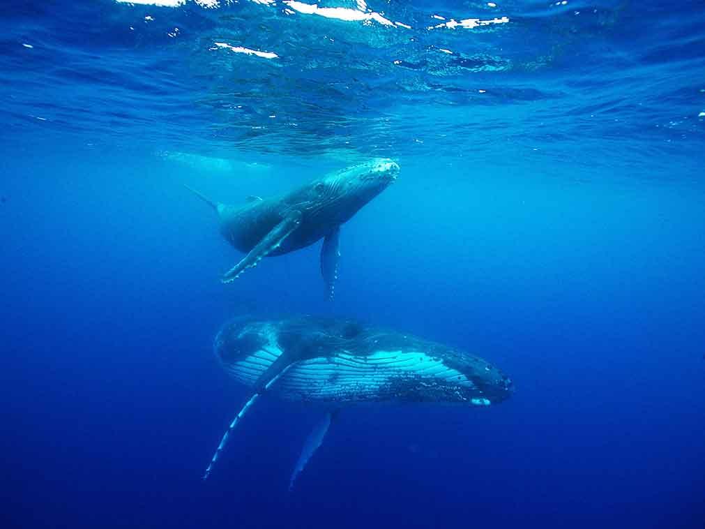 Polynésie-baleines-Amplitudes