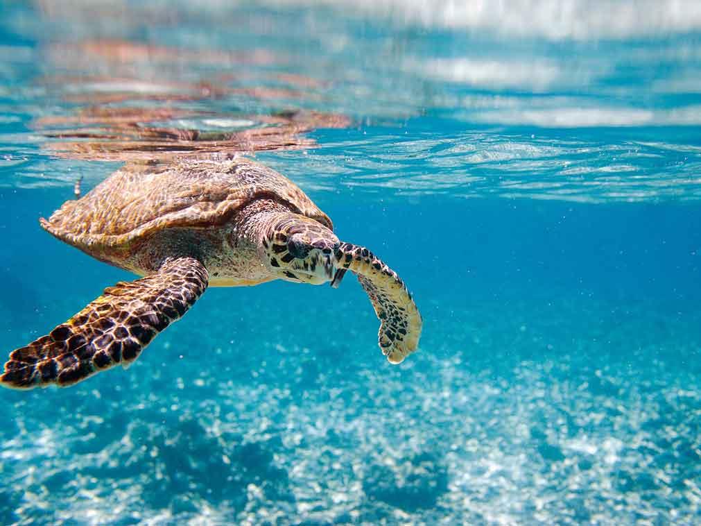 Seychelles-tortues-plongée-Amplitudes