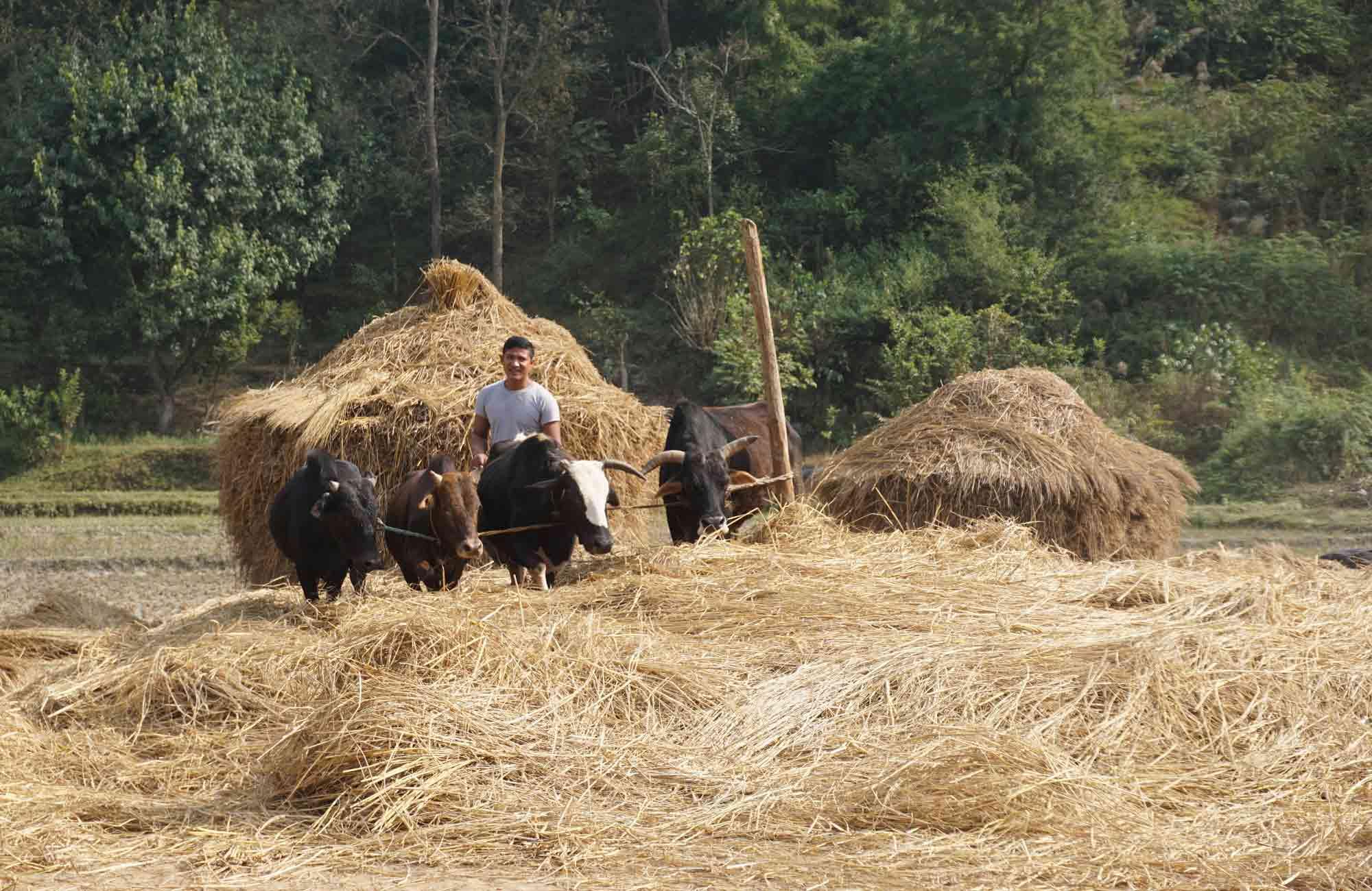 Travail des champs au Népal - Amplitudes voyage