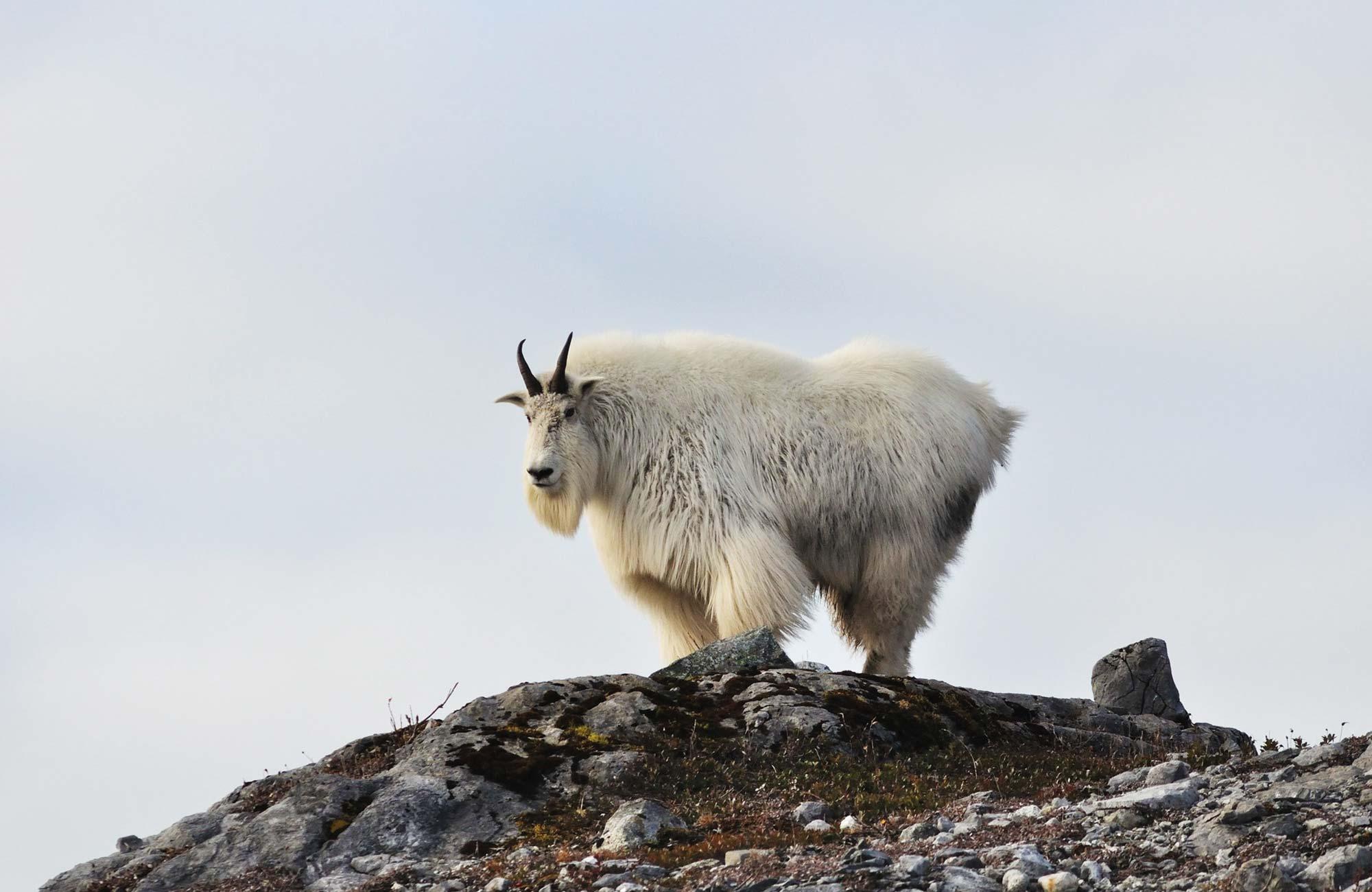 Voyage Montana - Chèvre des Montagnes - Amplitudes