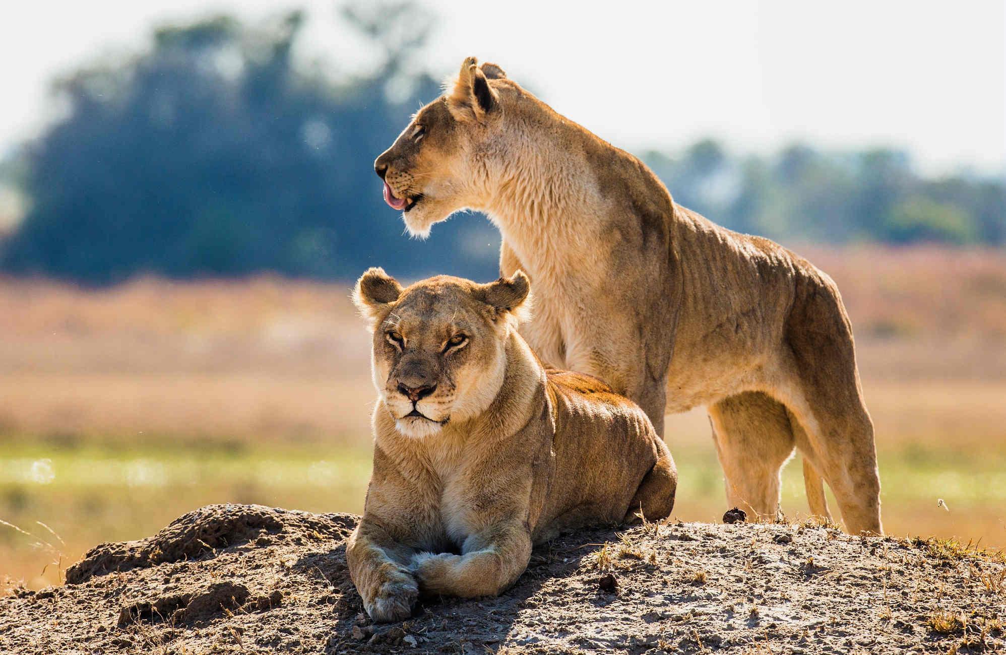 deux lionnes au Botswana lors d'un safari organisé par Amplitudes