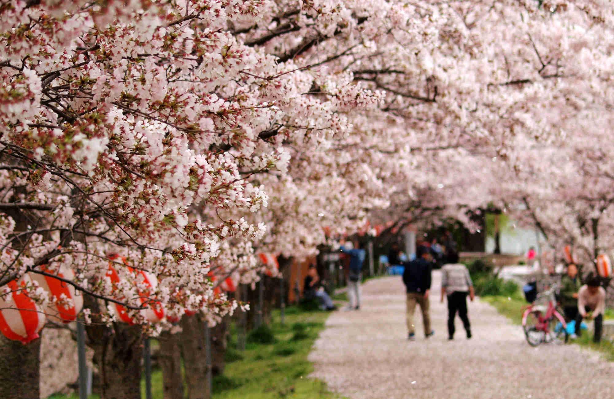 Hanami sous les cerisiers à Tokyo au Japon par Amplitudes