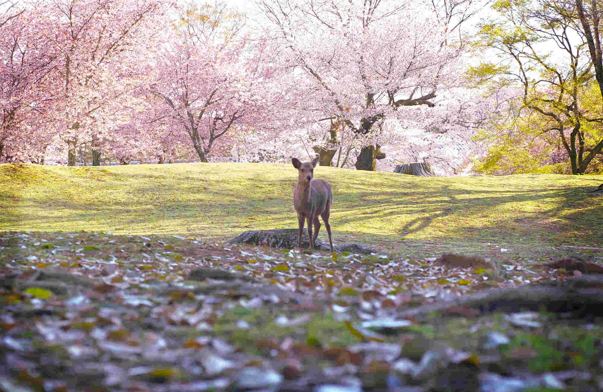 Cerf à Nara lors du Hanami avec Amplitudes au Japon