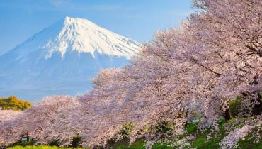 Mont Fuji fleuri par les sakura pendant le hanami au Japon