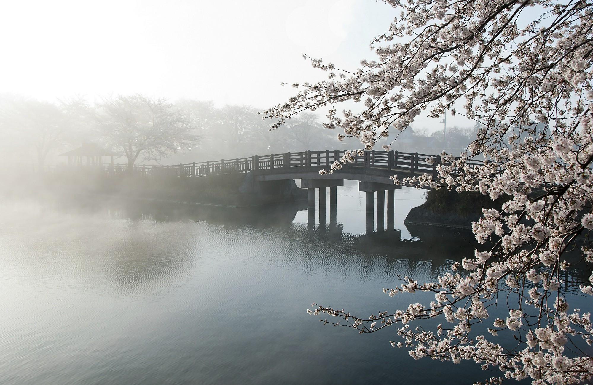 Fleurs de cerisier devant un pont dans le brouillard en croisière au Japon pour Hanami