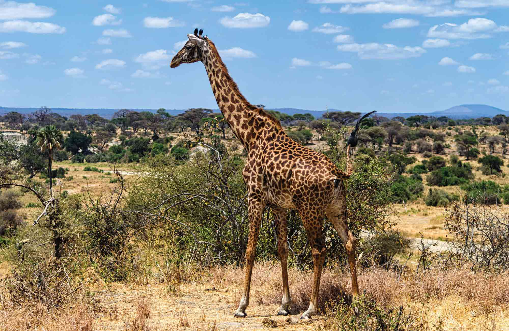Léopard dans le parc de Serengeti pour partir en Tanzanie
