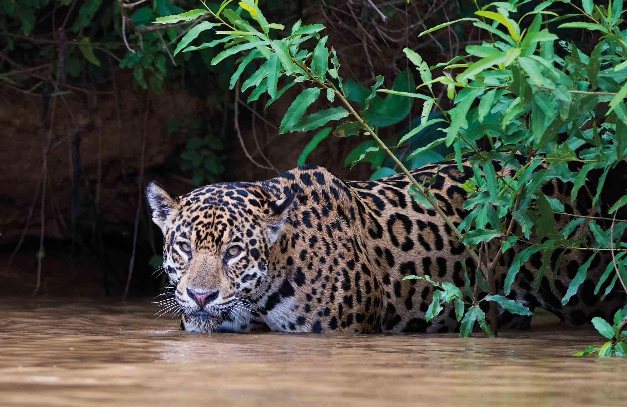 Jaguar dans la jungle amazonienne