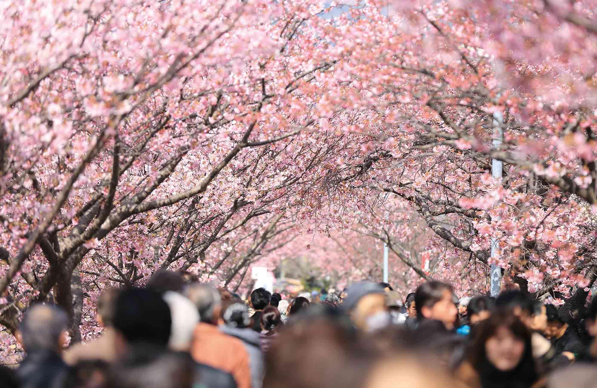Au printemps, hanami sous les fleurs de sakura, le meilleur moment pour partir au Japon