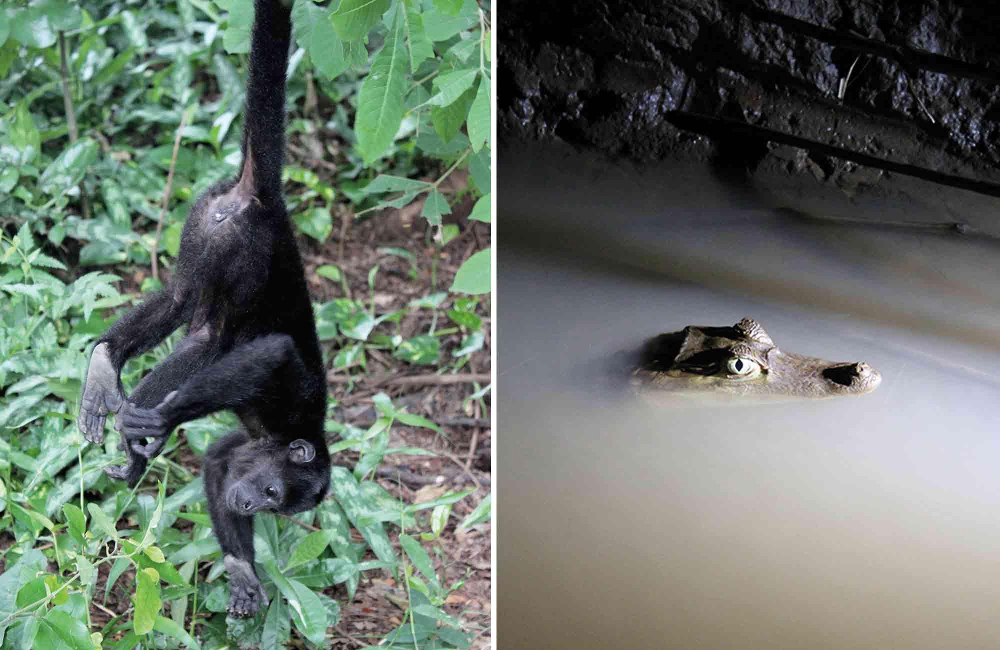 Voyage Pérou Costa Rica - singe hurleur et crocodile - Amplitudes