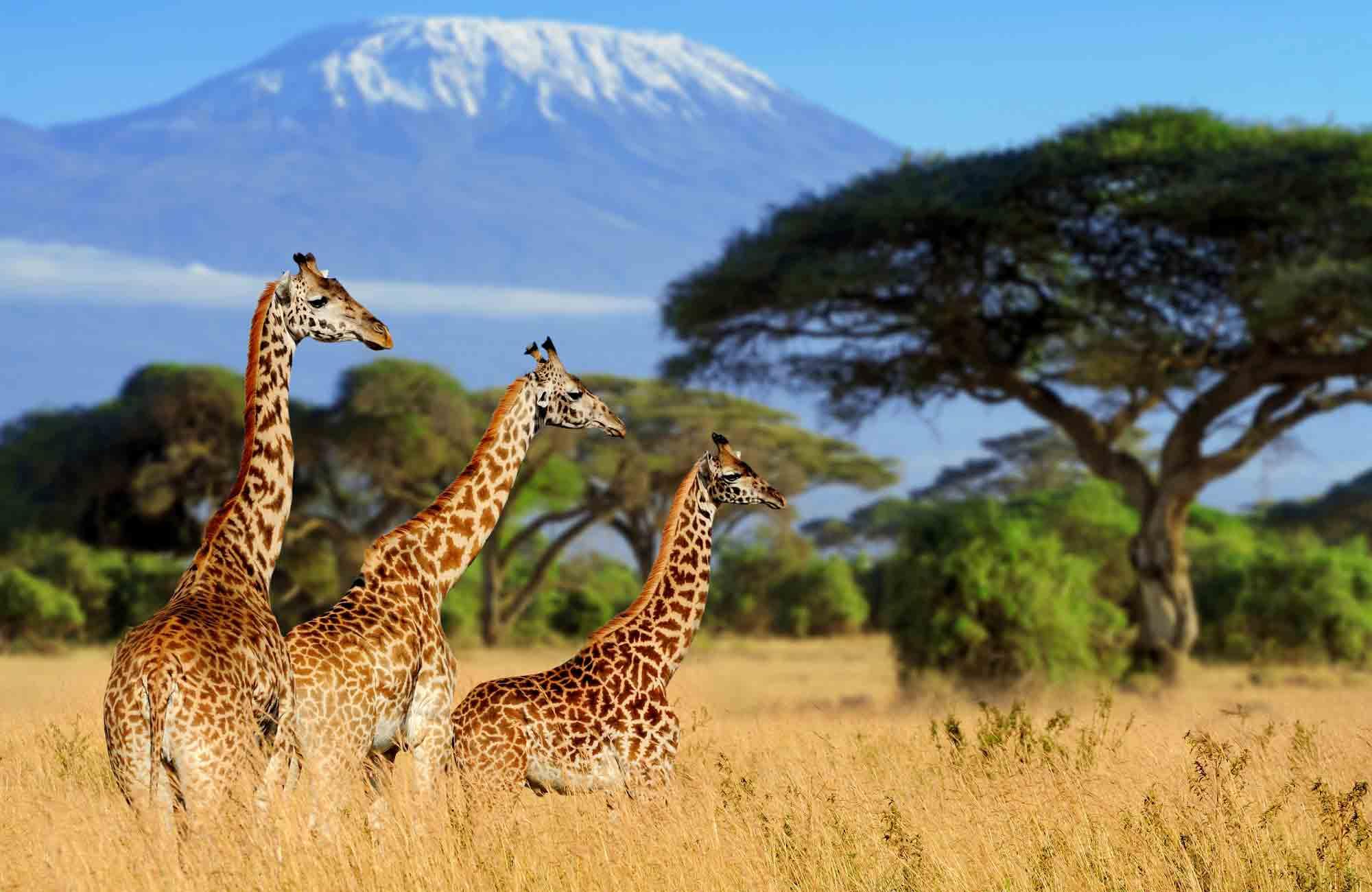 Voyage Kenya - Girafe et Kilimandjaro - Amplitudes