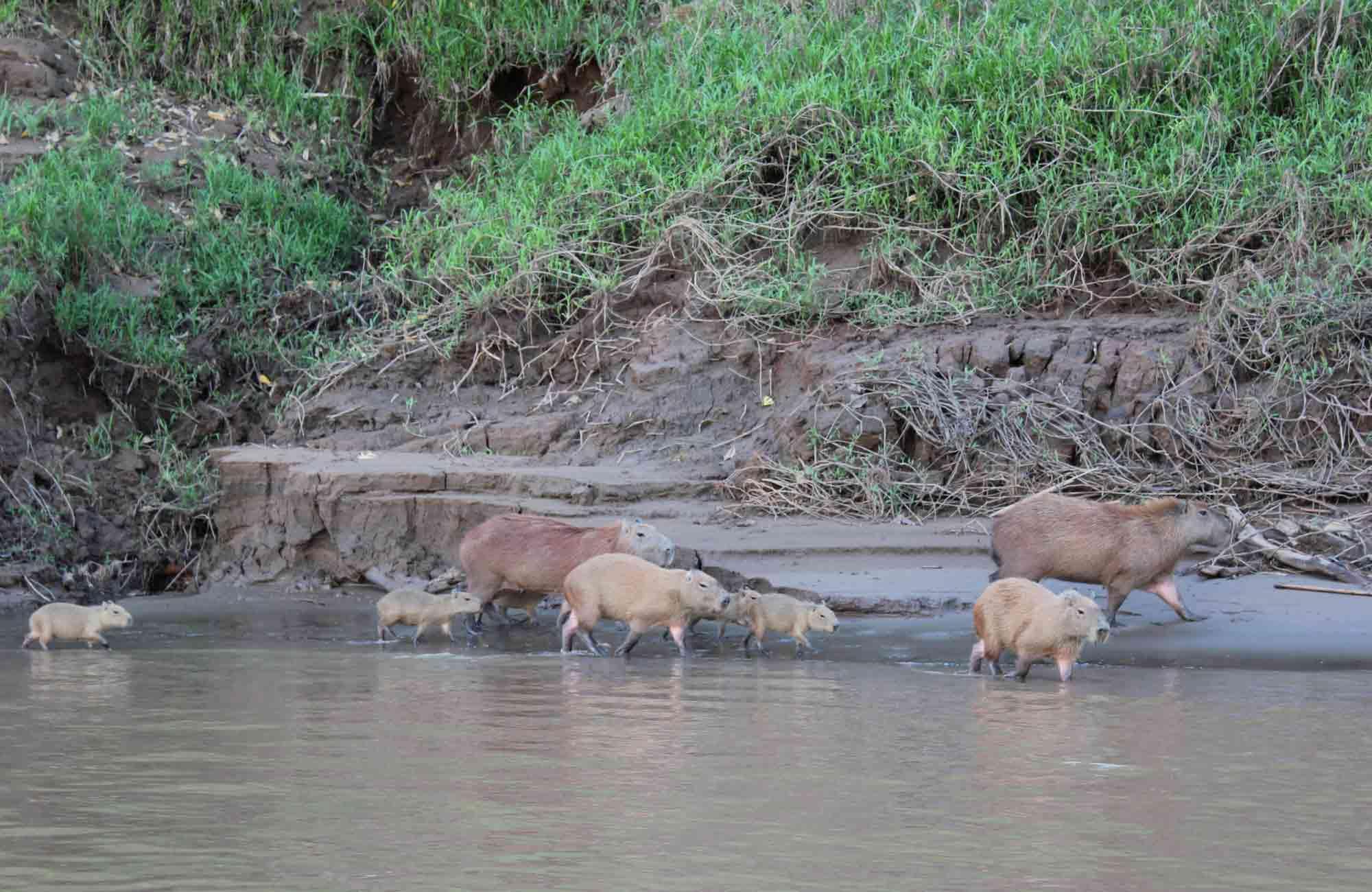 Voyage Pérou - Amazonie capibaras - Amplitudes