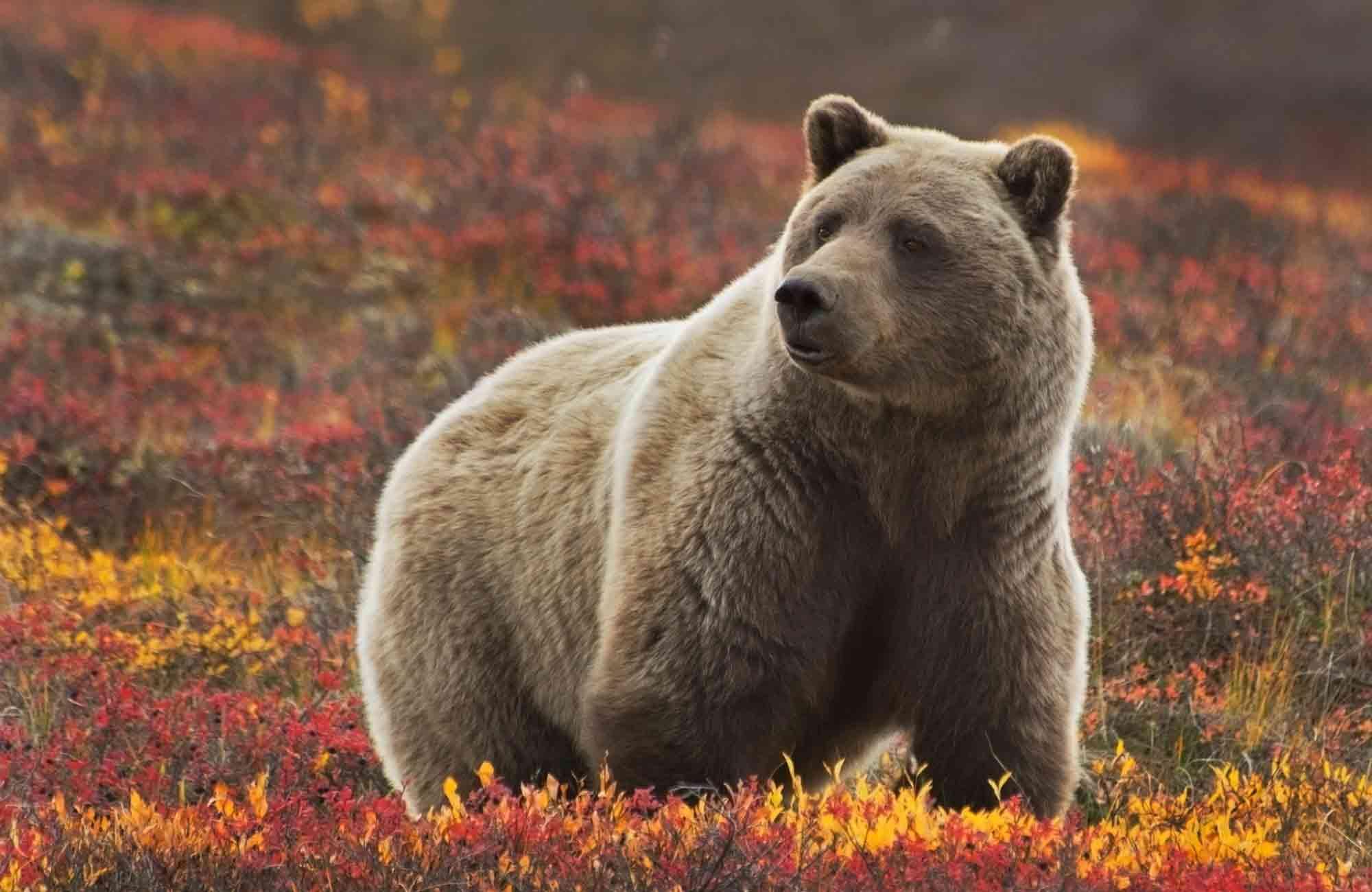 Voyage Alaska - Glizzly Parc Denali - Amplitudes