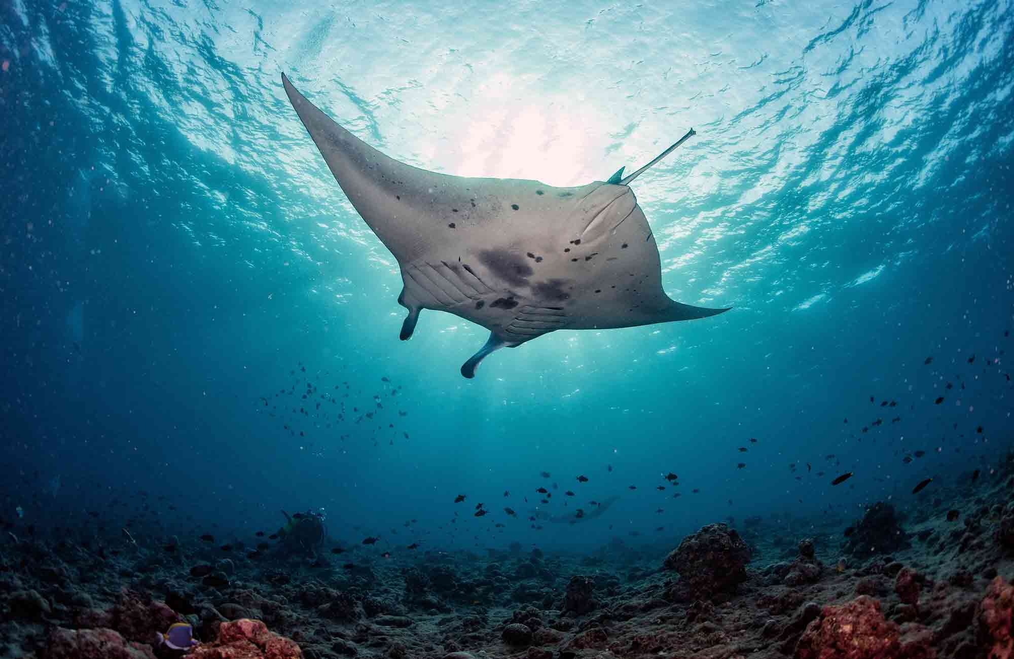 Voyage Maldives - Raies mantas - Amplitudes