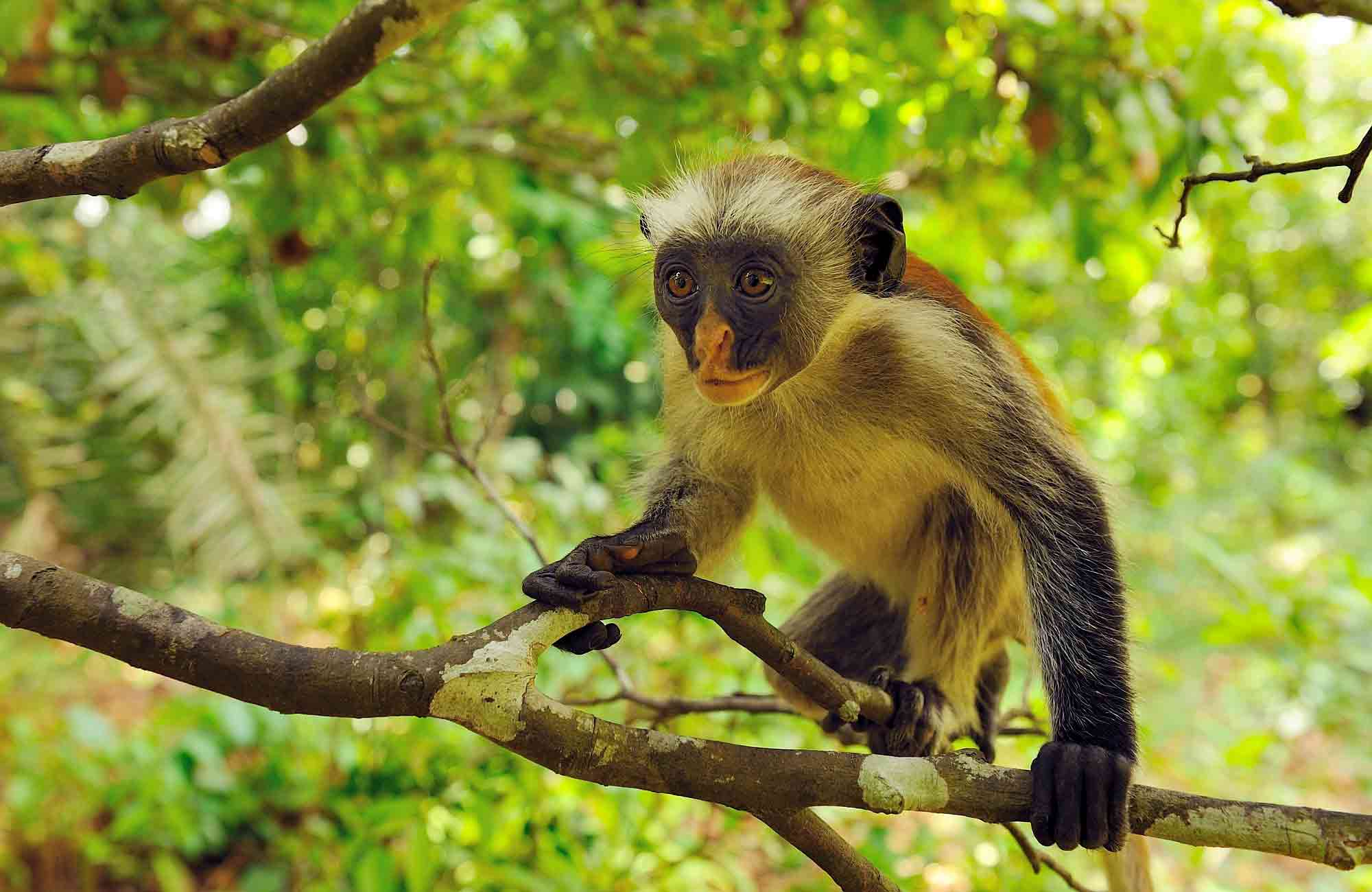 Voyage Zanzibar - singe - Amplitudes