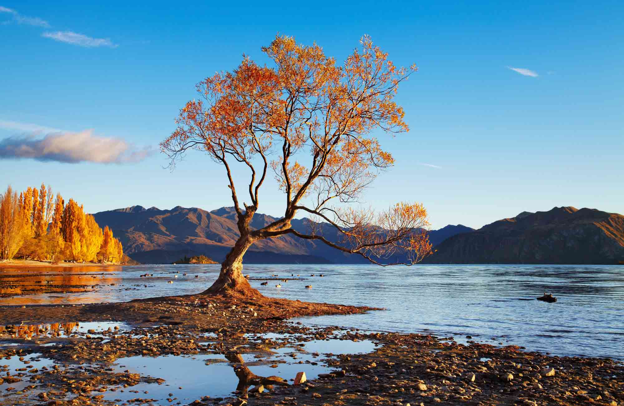 L'arbre solitaire du lac Wanaka