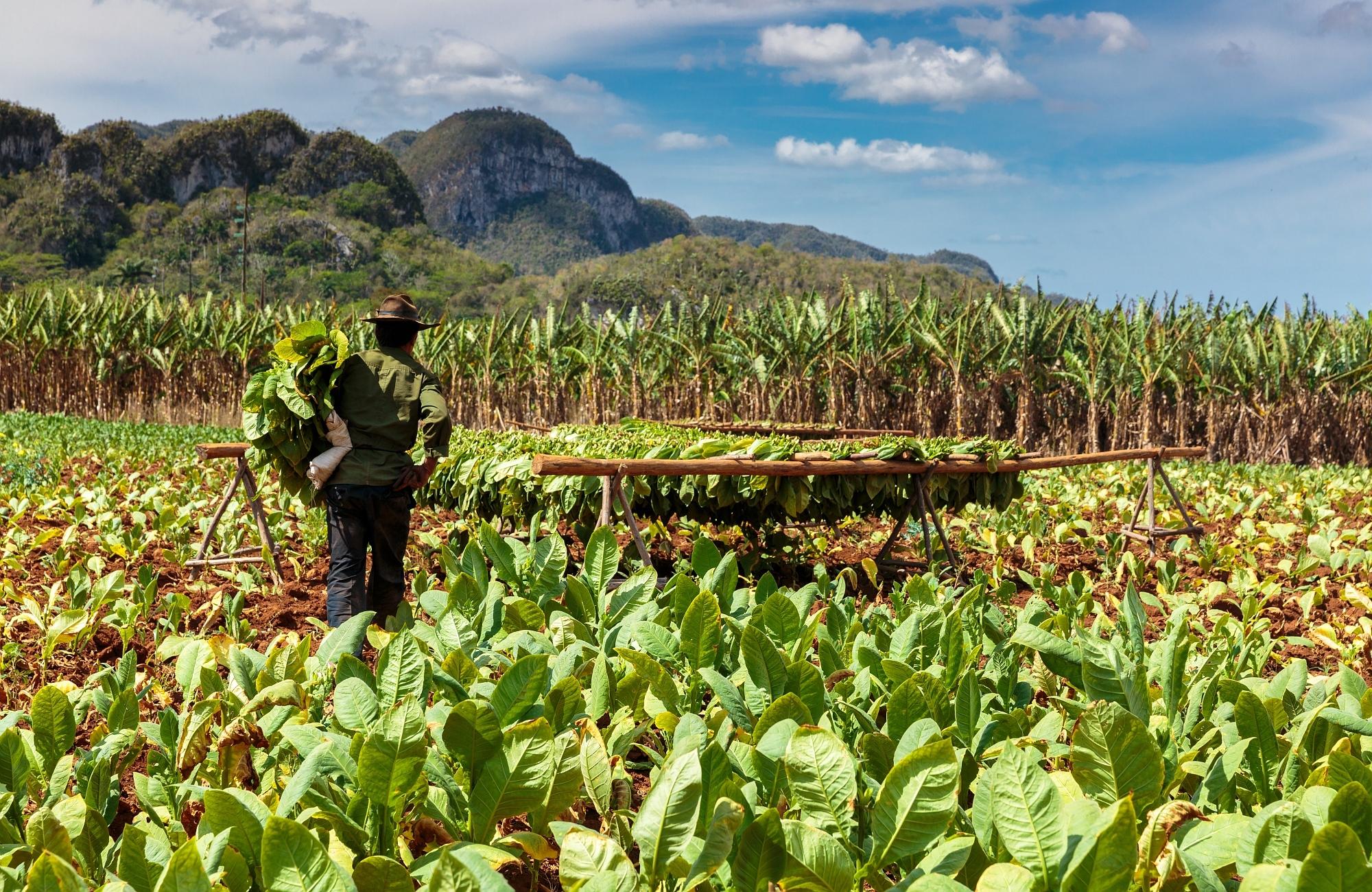 Voyage- plantation -tabac - vallee de Vinales - Cuba- Amplitudes