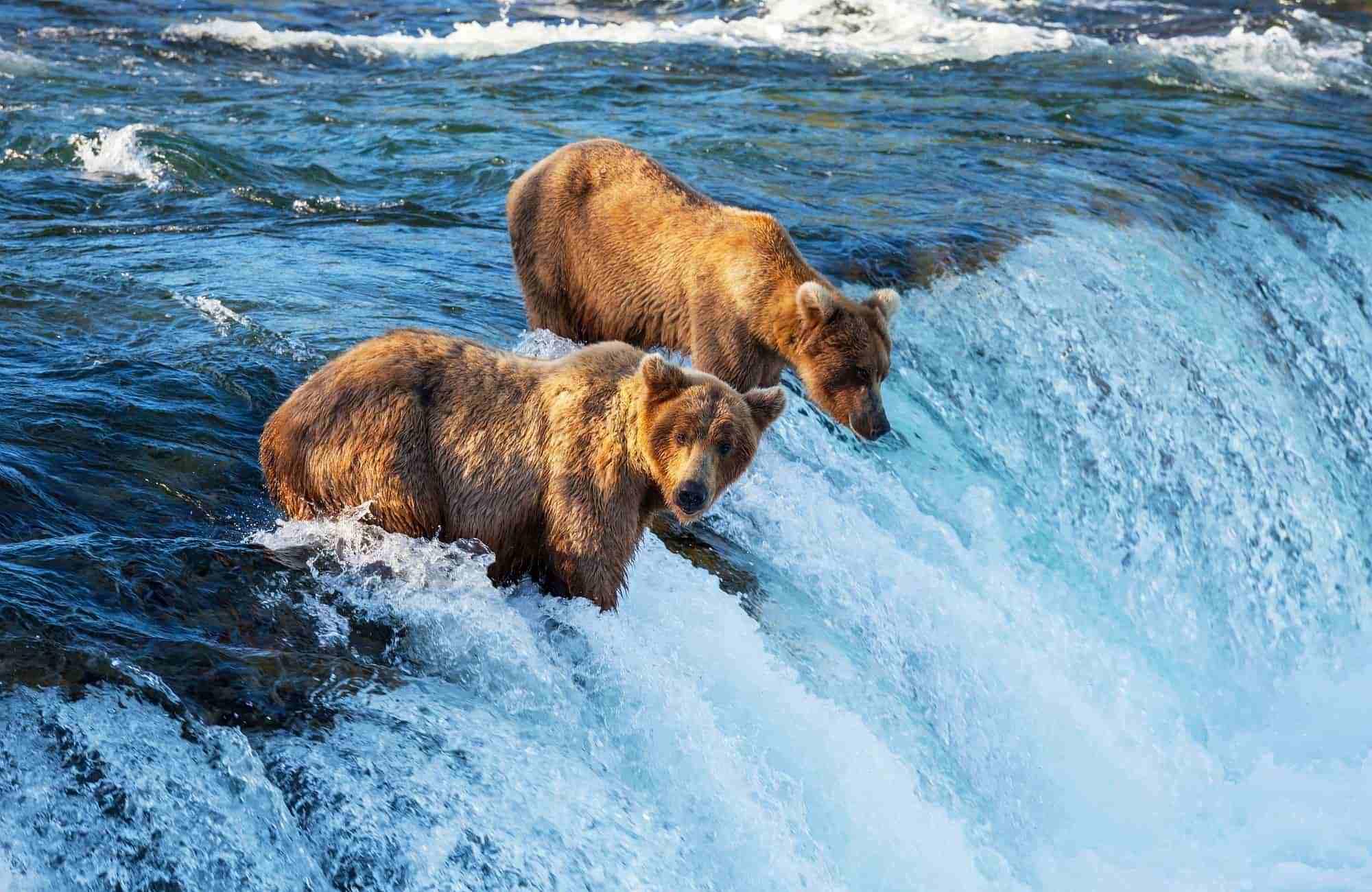 Voyage Etats-Unis - Alaska - Ours brun - Amplitudes