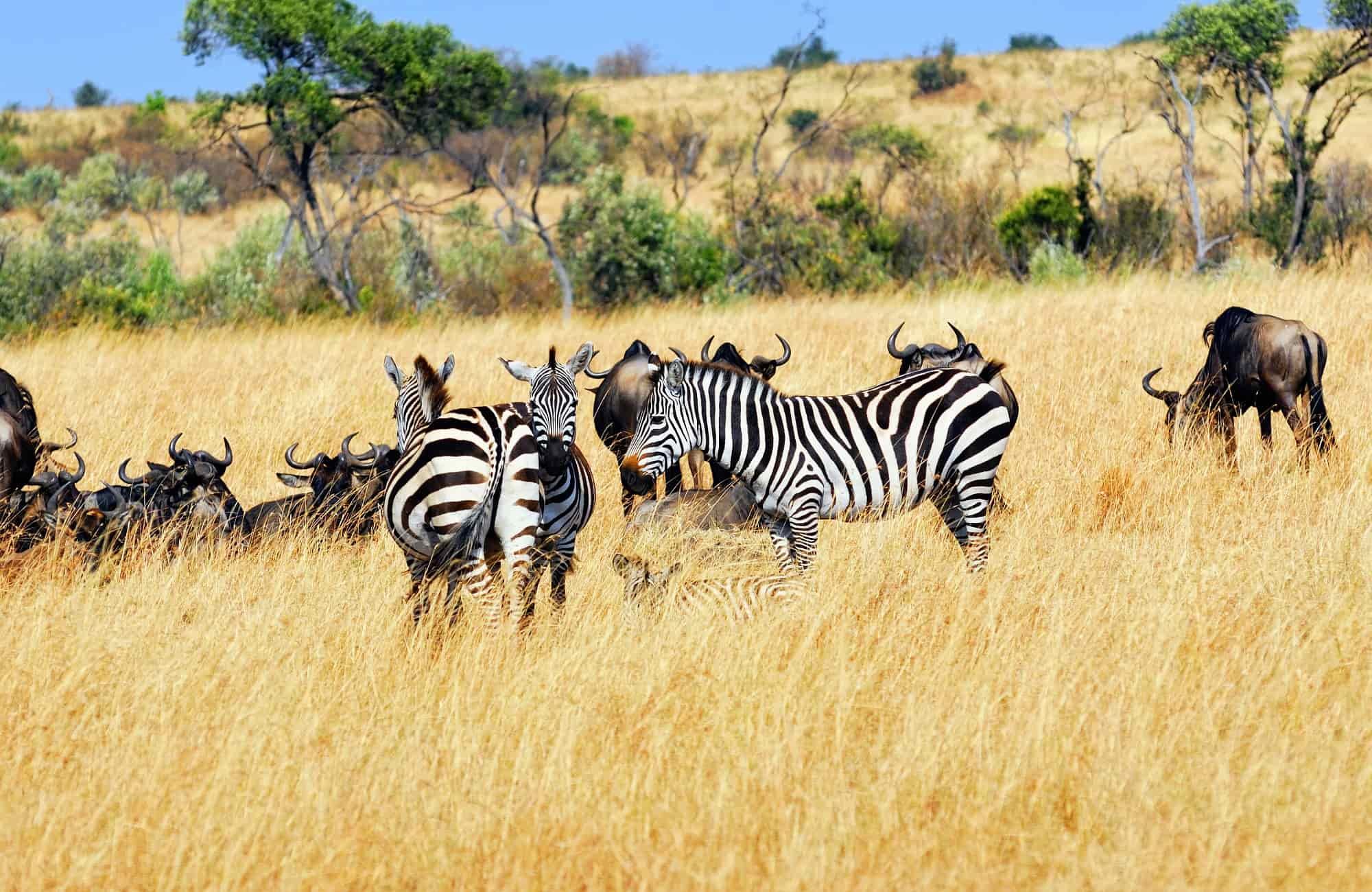 Voyage Kenya -Zèbres - Amplitudes