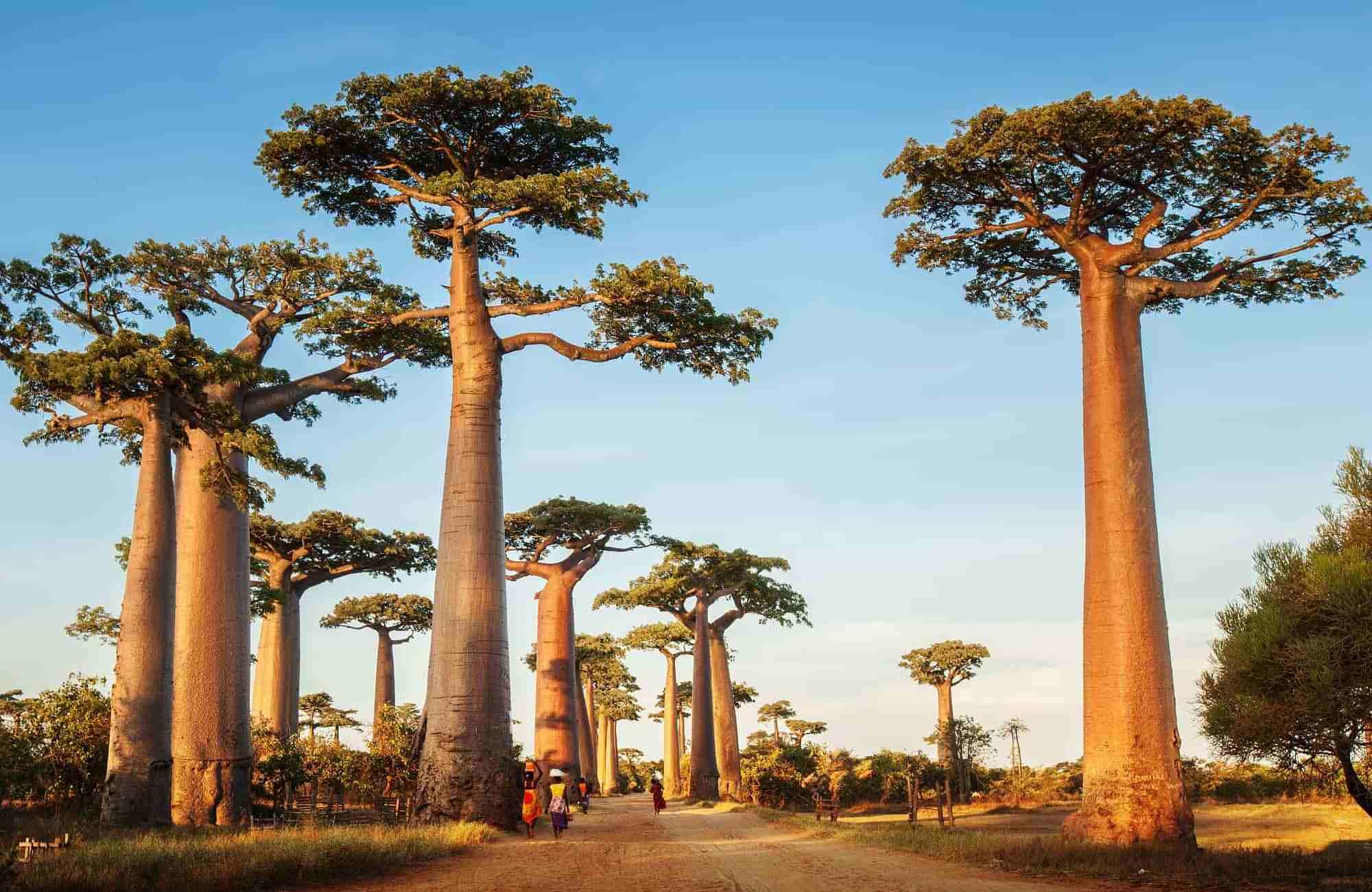 Voyage Madagascar - Allée des Baobabs Morondava - Amplitudes