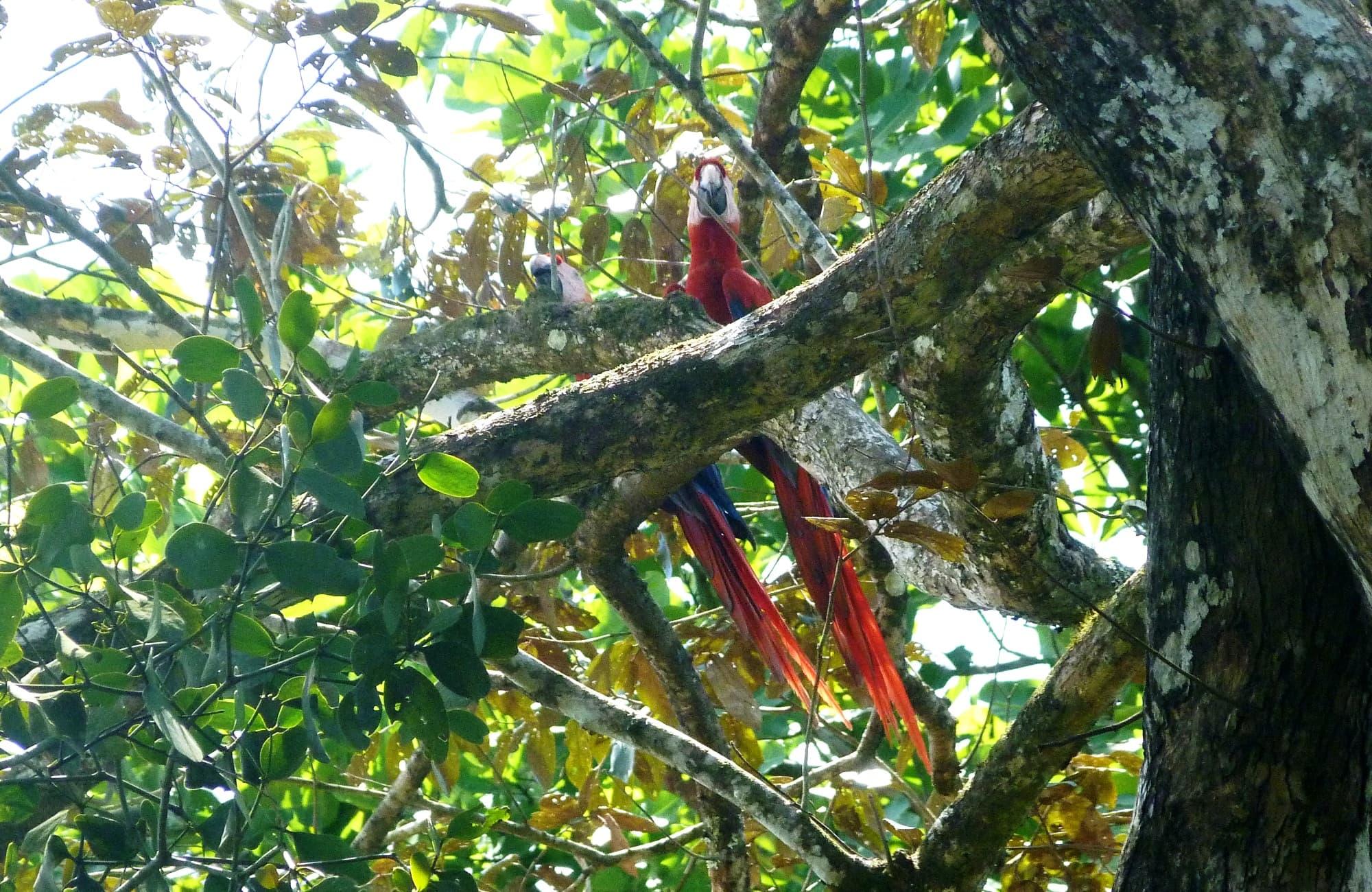 deux adorables perroquets cachés dans les feuillages
