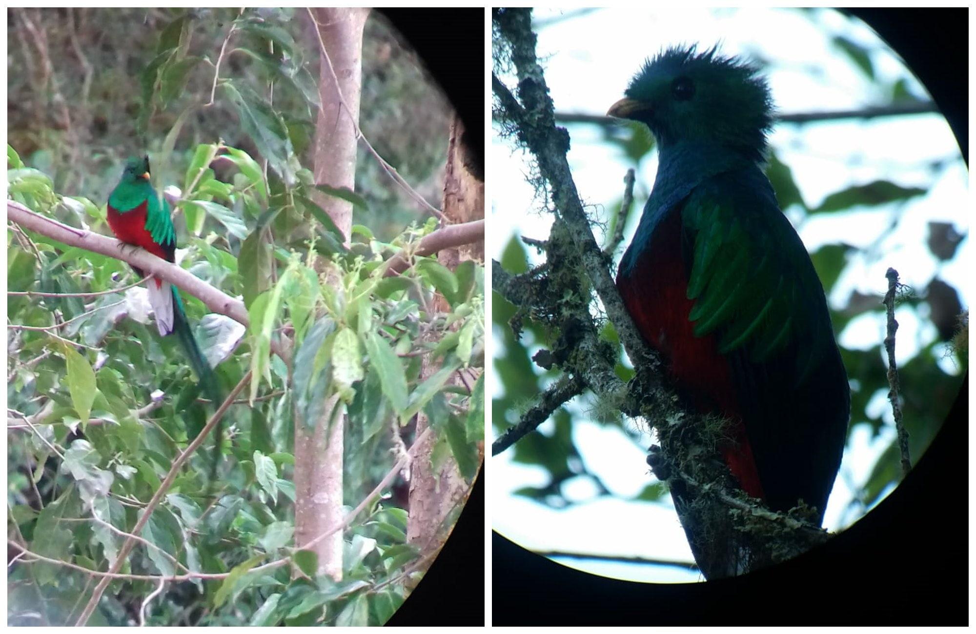 Depuis sa branche, le quetzal fait scrute l'horizon