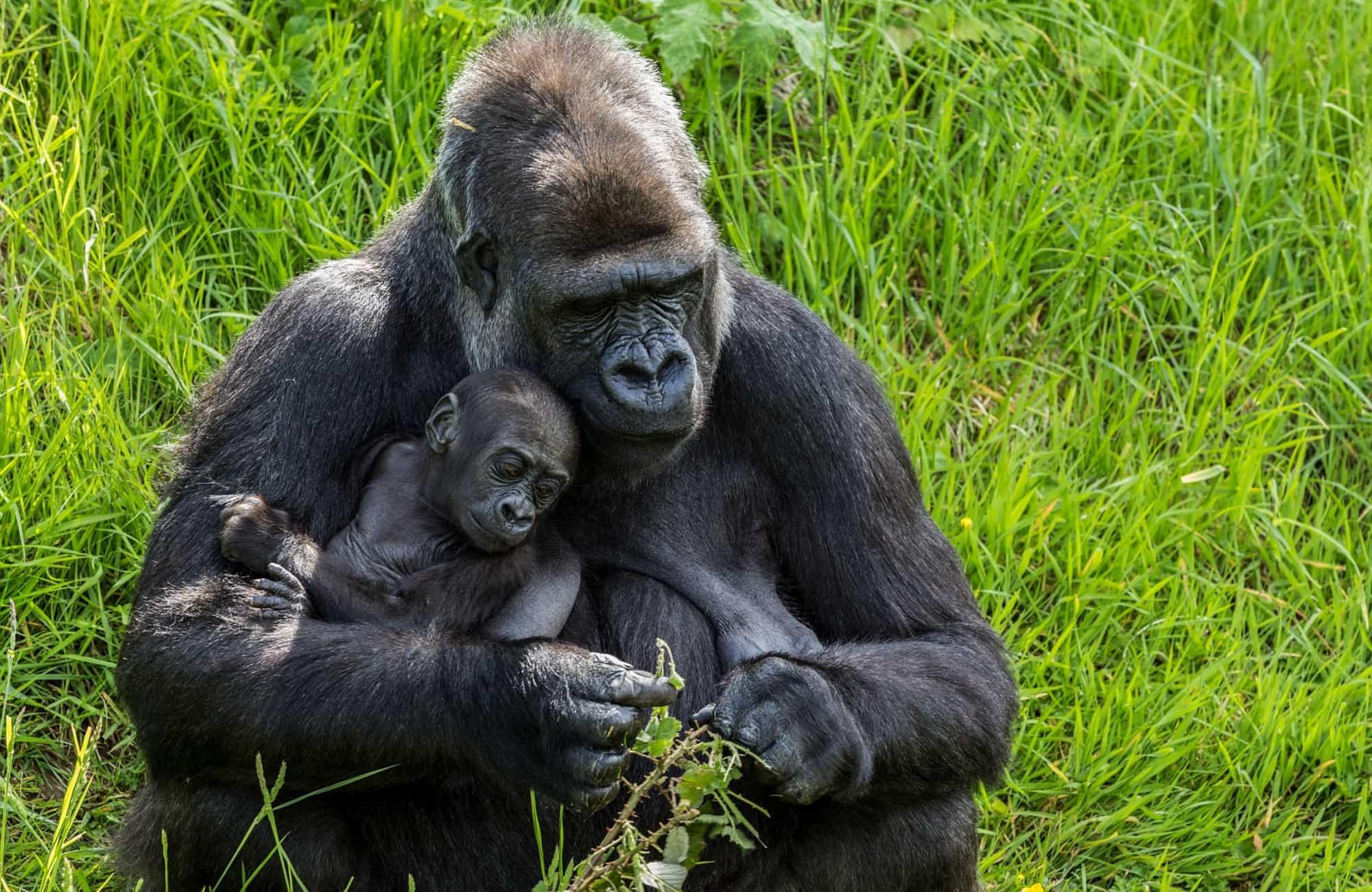 Une maman gorille et son petit