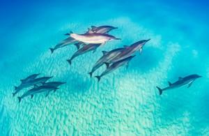 Balade d'un banc de dauphin dans l'archipel Polynésien