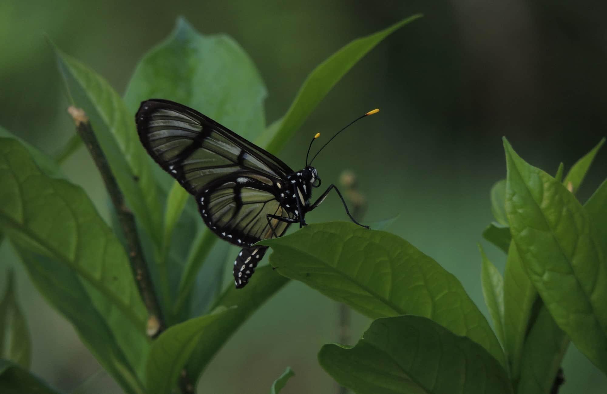 Voyage en Équateur - Papillon - Amplitudes