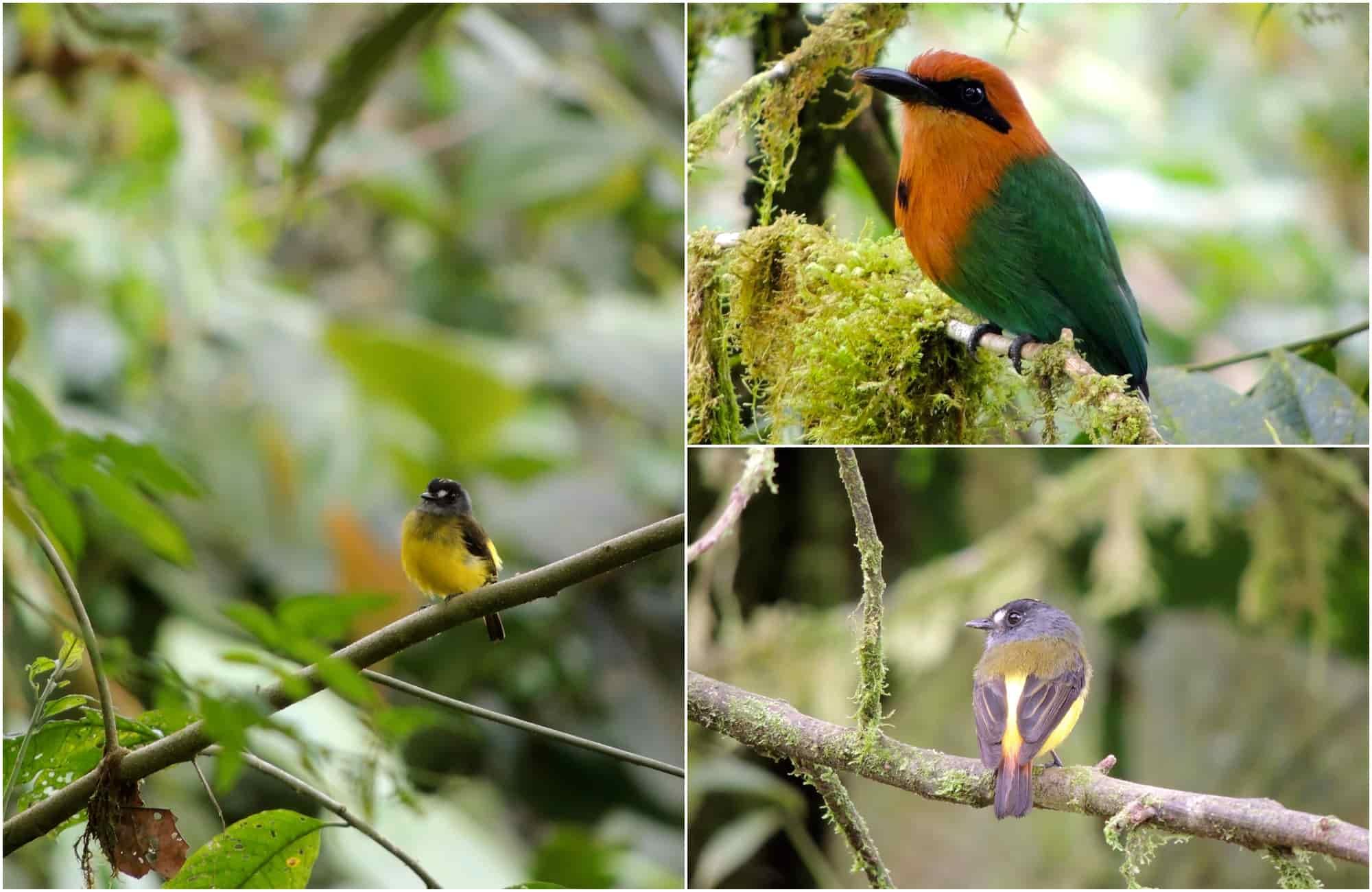 Voyage en Équateur - Oiseaux Mashpi Lodge - Amplitudes