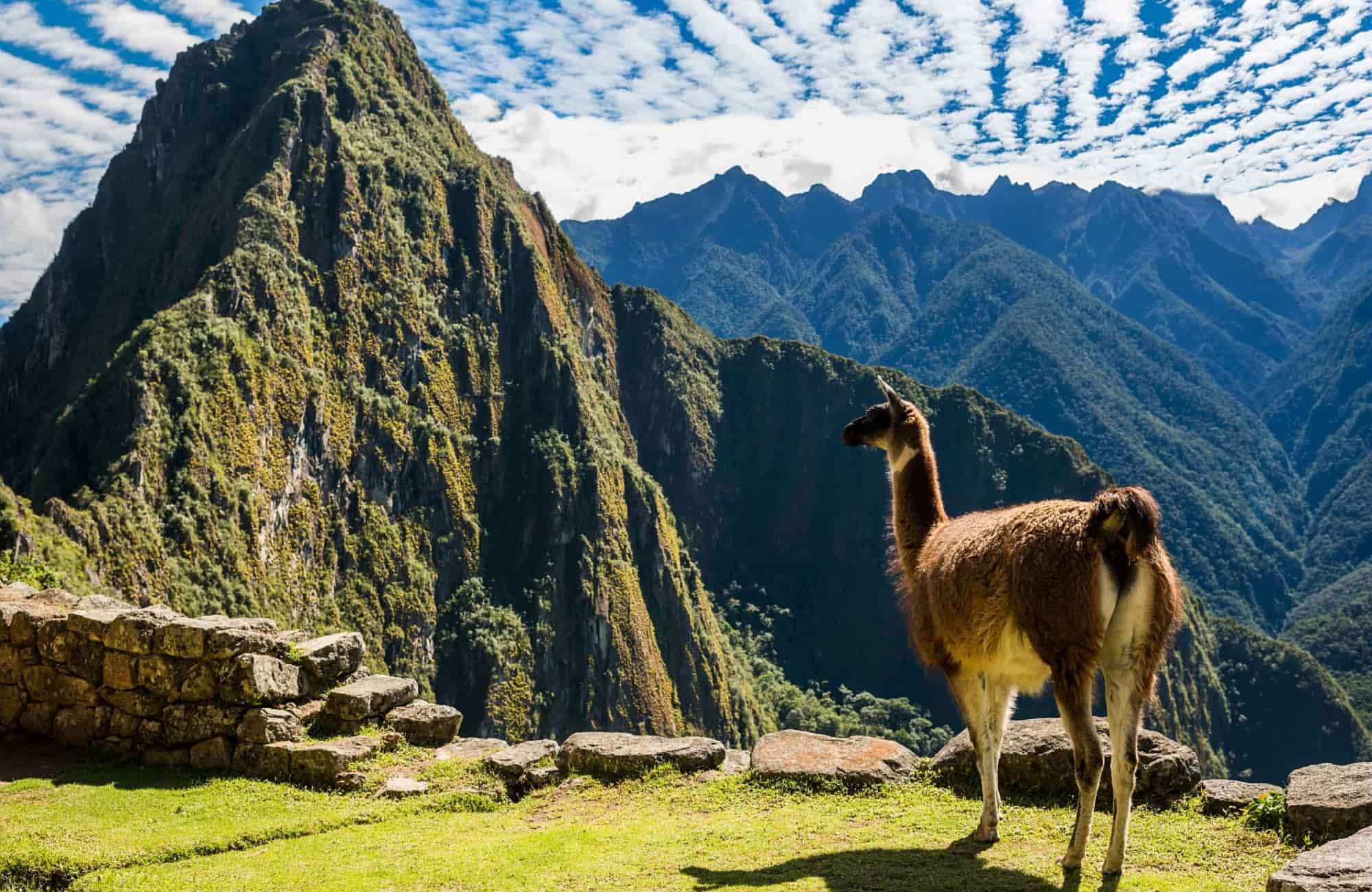 Voyage Pérou - Lama au Machu Picchu - Amplitudes