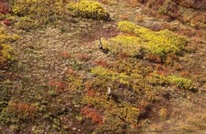 Voyage Alaska - Orignaux - Amplitudes