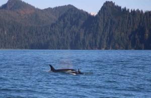 Voyage Alaska - Orques - Amplitudes