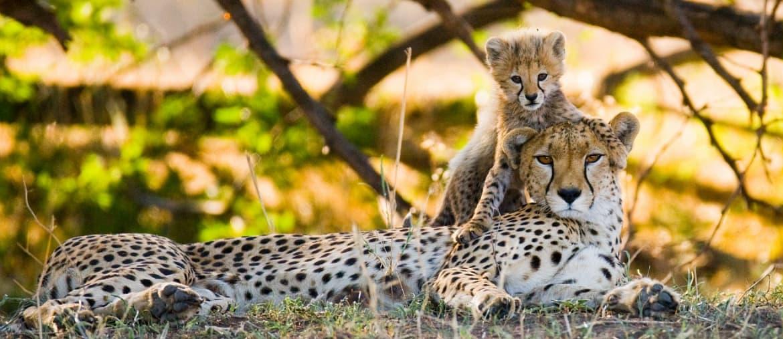 Voyage Kenya - Famille de Guépards - Amplitudes