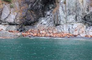 Voyage Alaska - colonie de phoque - Amplitudes