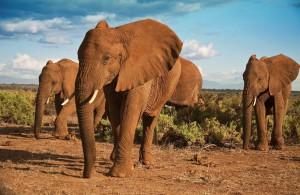 Voyage Kenya - Eléphants parc Samburu - Amplitudes