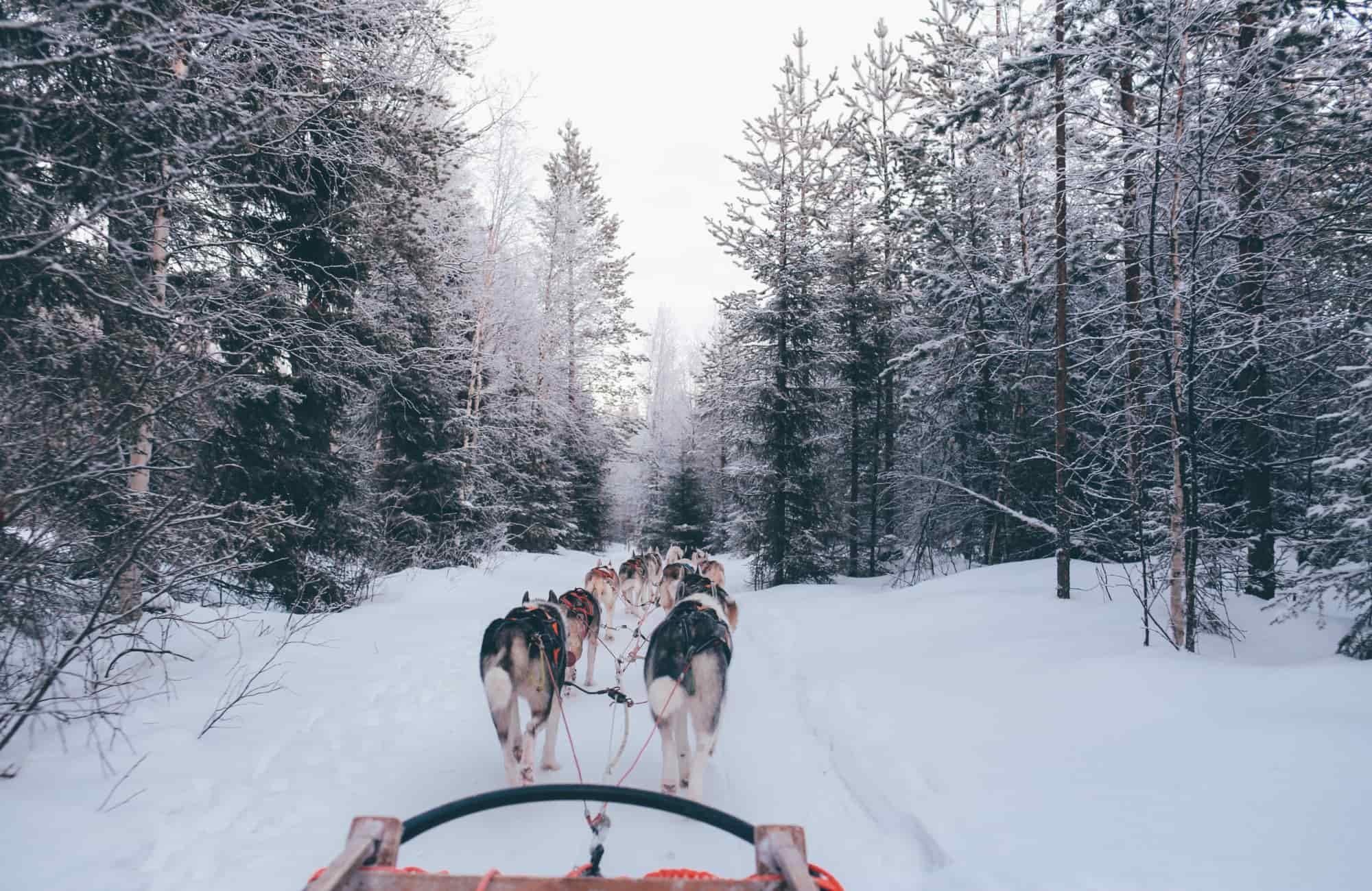 Voyage Laponie - Chiens de traîneau - Amplitudes