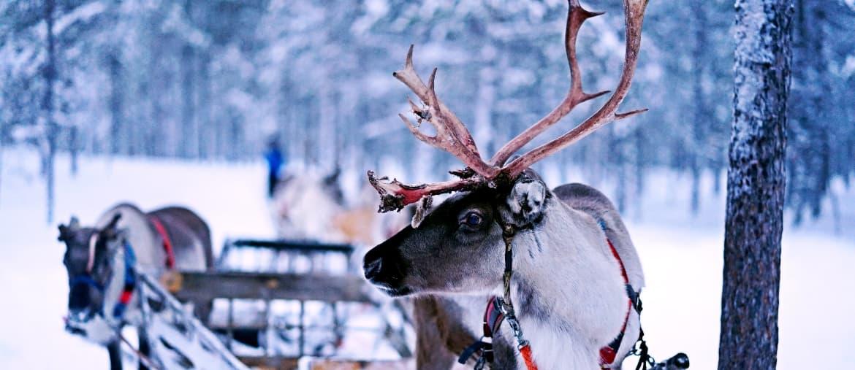 Voyage Laponie - Les rennes de Laponie - Amplitudes