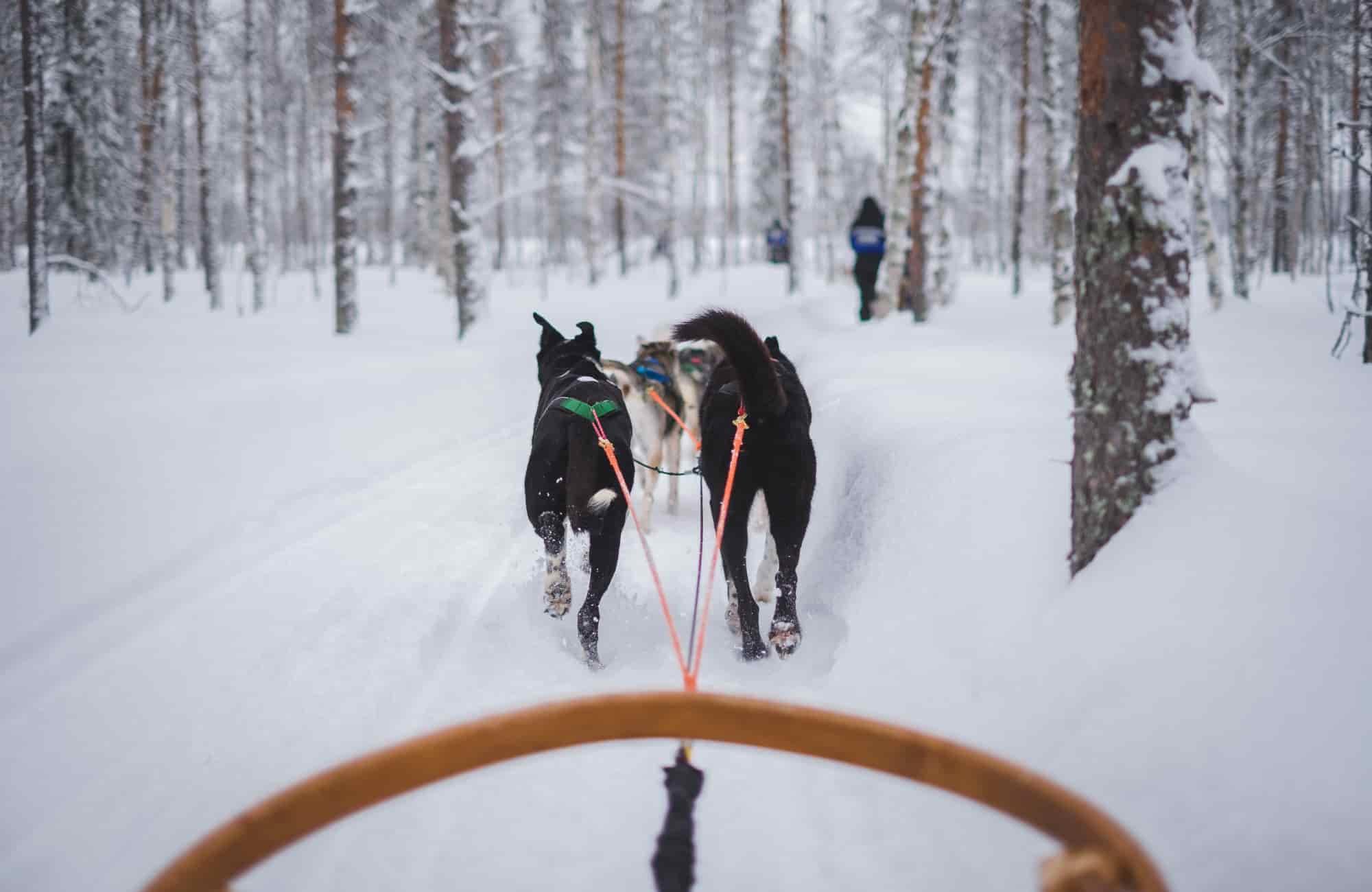 Voyage Laponie - Balade en chiens de traîneaux - Amplitudes
