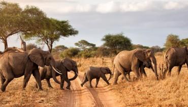 Voyage Tanzanie - Troupeau d'éléphants - Amplitudes
