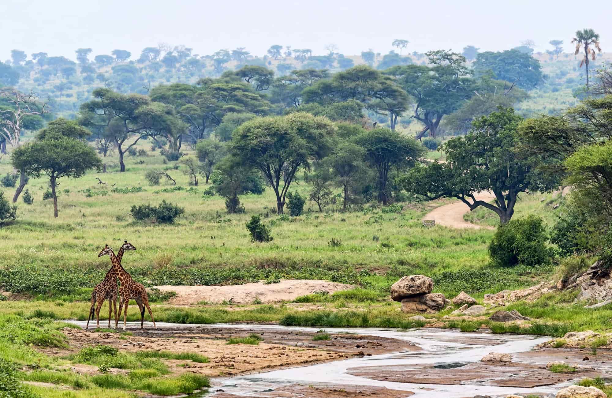 Voyage Tanzanie - Les girafes du Parc de Tarangire - Amplitudes