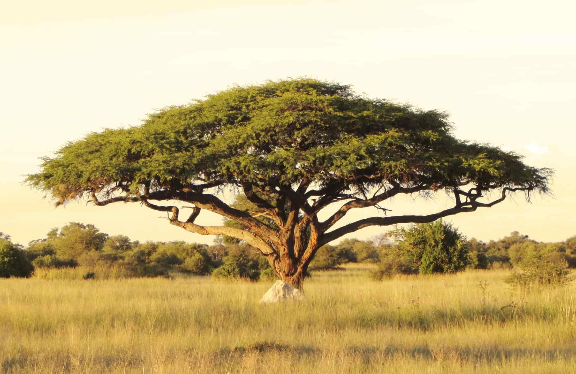Voyage Zimbabwe - Acacia Parc national Hwange - Amplitudes